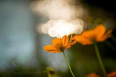 ดอกดาวหระจาย