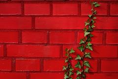 """""""Complementary"""" (Petra U.) Tags: red rot wall ivy climbing karlsruhe efeu komplementärkontrast flickrchallengegroup flickrchallengewinner sonyrx100"""