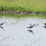 Greater and Lesser Yellowlegs and a Grackle thumbnail