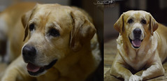 Buddy (OceanThakur) Tags: dog pet india cute love home smile animals loving prime golden nice labrador 14 85mm indoor buddy sharp care 85 pp4397