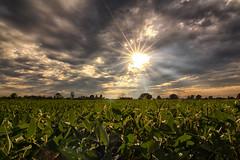 Sunny Soya Field
