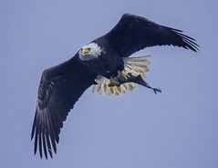 The Season Approaches (Feathered Trail Photos) Tags: baldeagle conowingo mfcc avianexcellence fabuleuse