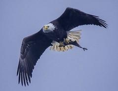 The Season Approaches (Feathered Trail Photos) Tags: baldeagle conowingo mfcc avianexcellence fabuleuse