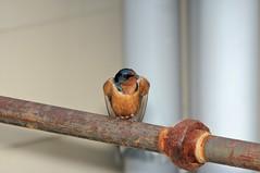 2014 Barn Swallow 4 (DrLensCap) Tags: bird robert wisconsin barn state wildlife center area marsh swallow visitor wi kramer horicon