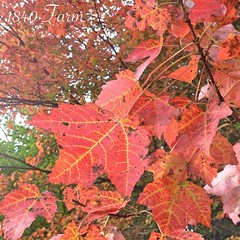 "Fall really is the most beautiful season here in New England. Gazing at these amazing red leaves was a lovely way to begin my Sunday! • <a style=""font-size:0.8em;"" href=""http://www.flickr.com/photos/54958436@N05/15193109188/"" target=""_blank"">View on Flickr</a>"