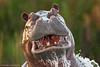 The last warning (hvhe1) Tags: africa nature animal sunrise warning river mammal scary wildlife hippo hippopotamus botswana splash nijlpaard tusk hippopotame flusspferd hippopotamusamphibius okavangodelta specanimal seekoei hvhe1 hennievanheerden