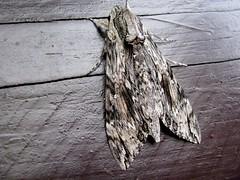 op de bloembak??????? (elsvanderpalen) Tags: mooi tuinhuis nachtvlinder getekend fraai opbloembak