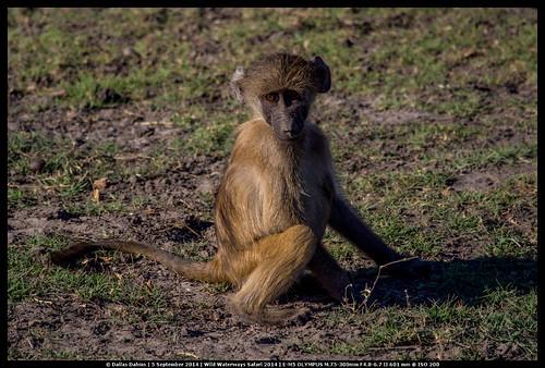 Juvenile baboon (Chobe)