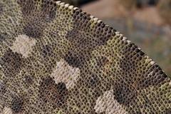 scales (markusOulehla) Tags: nikon morocco marokko herps 2014 chamaeleochamaeleon chamaeleoninae nikonnature commonchameleon camalencomn gewhnlicheschamleon europischeschamleon oulehla markusoulehla moroccanherping moroccanherpetofauna moroccananimals