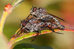 OK......Guess Who (B. Powell) Tags: macro robberfly robberflies matingflies extentiontubes extentiontube canonef300mmf4lisusm canon70d
