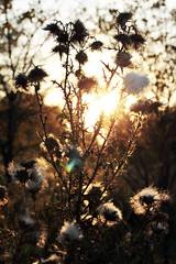 Prickly Sunset 09282014 (Orange Barn) Tags: sunset weeds dusk thorns bannermarsh illinoisdepartmentofnaturalresources bannerillinois