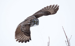 Chouette lapone - Great grey owl (www.sophiethibault.ca) Tags: oiseaux 2017 février nature chouettelapone chouette lapone refuge margueritedyouville bird owl greatgreyowl québec canada châteauguay îlestbernard strixnebulosa r