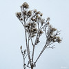 Icy Bouquet - Bouquet glacé (monteregina) Tags: photo:id=nb201701087730 québec canada hiver winter neige snow givre frost froid cold glace ice eis fleursdeglace iceflowers fleursdegivre frostflowers nature natur designs textures details pattern motifs abstrait abstract iceart macro monteregina blanc white sparkle shine glint brilliant icedesign closeup hoarfrost schnee eiskristalle geléeblanche whitefrost frosted winterflora flore flora plantes plants plantae