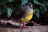 @ Avifauna 31-01-2016 (Maxime de Boer) Tags: sulawesi patrijsduif duif pigeon bird vogel avifauna park alphen aan den rijn gods creation schepping