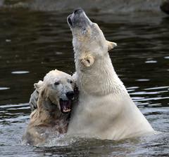 polarbear Ouwehands BB2A3210 (j.a.kok) Tags: polarbear beer bear polarbaer ijsbeer arctic predator mammal zoogdier ursusmaritimus pool noordpool ouwehands ouwehandsdierenpark ouwehand ouwehandszoo