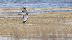 northern harrier (adult male) (quadceratops) Tags: massachusetts nature plum island parker river national wildlife refuge prnwr emhw eastern mass hawk watch hawkwatch northern harrier migration 2019hwi