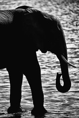 elephant silhouette (eb78) Tags: africa blackandwhite monochrome greyscale grayscale chobenationalpark botswana animals safari elephant travel