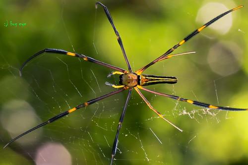 Orb weaver Spider / Nephila maculata / แมงมุมใยทอง