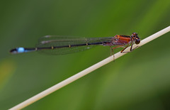 Groe Pechlibelle (W) (redhatfotos) Tags: nature insect pond dragonfly natur teich libelle insekt fluginsekt