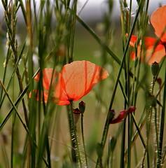 Darreres roselles (Carme Carles) Tags: poppies estiu amapolas roselles penelles