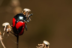 The bug (Edi Eco) Tags: red macro nature beautiful fauna bug insect wings inseto extensiontube saojosédoscampos