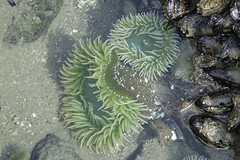 Tofino Tidepool Life (jscott7357) Tags: ocean beach sand sandy shell sealife vancouverisland longbeach tofino mussel intertidal creatures tidal barnacle sandybeach pacificrimpark