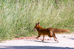 renard roux (leroilezard52) Tags: animal course libert tuileries sauvage mamifre renardroux chappe cousanceslesforges leroilezard52