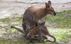 Wallaby & Wallababy (Orias1978) Tags: wild animal fauna canon fur mammal jump oz wildlife australian ears kangaroo wallaby planet outback hop boxing aussie marsupial arup