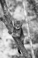 Szmötyi BW (dandrasphoto) Tags: cat macska szmötyi black white fekete fehér nature természet canon eos 60d 70200 f4 l usm andras deak