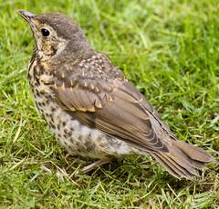 2011-05-20-12-52-46-0001.jpg (martinbrampton) Tags: england bird unitedkingdom wildlife thrush brampton may2011 townfootpark