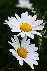 F1 (Elizabeth MacDonald (BIF1)) Tags: summer plants flower weeds daisy wildflowers