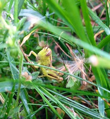 Grasshopper Hideaway (jewelsdelr) Tags: green nature grass bug grasshopper