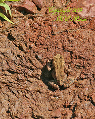 "Meadow Wildlife (1/2 Inch American Toad) at Duke Farms in Hillsborough NJ (takegoro) Tags: nature animals wildlife toads frogs amphibians sanctuary naturepreserve dukefarms nj"" ""hillsborough"