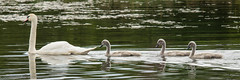 Ladyton Loch swans a swimming (RCB4J) Tags: wild nature female scotland countryside swan native wildlife swans muteswans ayrshire irvinevalley eastayrshire naturethroughthelens sigma150500mmf563dgoshsm sonyslta77v ronniebarron rcb4j