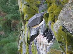 Guillemots at Latrabjarg (misiekmintus) Tags: cliff bird birds island iceland islandia rocks birding birdwatching ltrabjarg