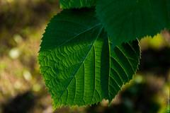 leaf (kirill3.14) Tags: trees summer botanicalgardens folia
