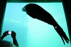 a Seal Doing Tricks (Photography.by.Sara) Tags: seattle camera family vacation rain swim photography aquarium washington nikon play gloomy rainy seal pacificnorthwest trick sealion dslr seattleaquarium rainycity seattlewa d600 nikond600 cityofrain