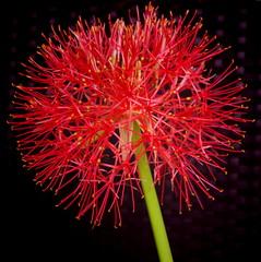 """""""Toy Camera setting"""" (b16dyr) Tags: flowers scotland flora houseplant glasgow powderpuff scadoxusmultiflorus"""