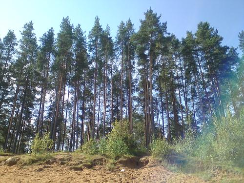 Сосны у карьера // Pines near sandpit