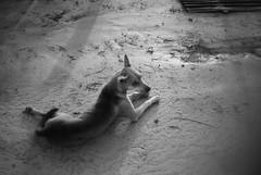 (YOUANDMEORUS) Tags: leica bw dog monochrome bn leitz