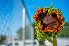 Shock o Lat Sunflower Blooming (dbubis) Tags: flower sunflower bloom buds hdr bubis dbphoto nex6