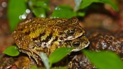 Amboli toads mating (pointn'click) Tags: macro monsoon amboli