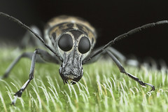 fungus weevil (royal JOHOR macro) Tags: