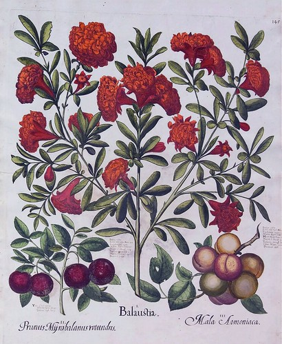 Sweet cherry (Prunus avium), Pomegranate (Punica granatum), and apricot (Prunus armeniaca). Bessler, Basilius, Hortus Eystettensis, vol. 2: Ordo collectarum arborum et fruticum aestivalium, t. 145, (1640) [B. Bessler]