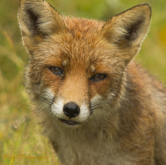 Fox (gertphotography) Tags: netherlands animals zoo nudes wildlife awd drenthe coevorden predetors gertphotographynl