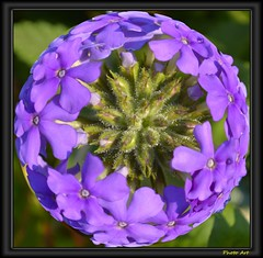 Purple Flower Ball (swong95765) Tags: flowers flower ball circle petals cluster lavender symetry symetrical