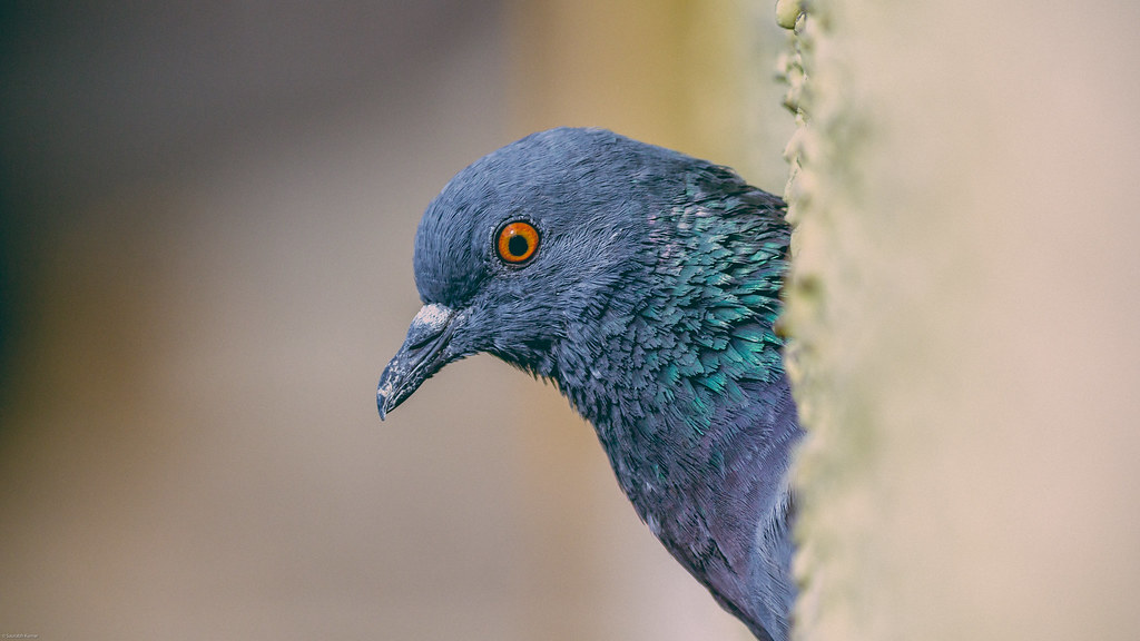 wild india macro bird eye animal grey pigeon wildlife wing beak feather plume
