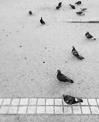 No title (tarotaro-san) Tags: blackandwhite bird monochrome japan tokyo dove nakano   bnw