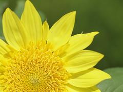 (Polotaro) Tags: flower nature pen olympus   ep1     tamronsp90mmf28macro1172b epm2