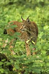Alert (Gies!) Tags: mammal kat wildcat lynx zoogdier